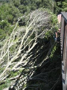 Fallen Oak (K Loh)