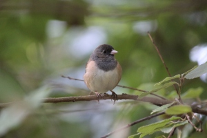 Dark Eyed Junco - copyright (c) March 2010 Kathy J Loh