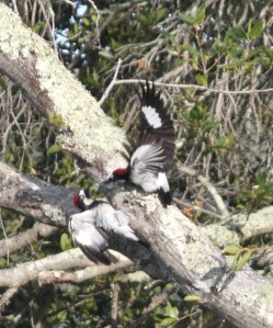 Fighting Woodpeckers