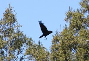 Crow copyright (c) Kathy J Loh