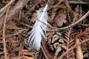 feather amid pine needles copyright (c) Kathy J Loh