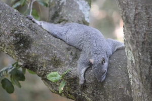 Squirrel resting in tree Copyright (C) November 2010, Kathy J Loh