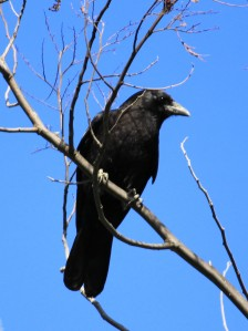Crow - copyright (c) December 2010 Kathy J Loh All Rights Reserved