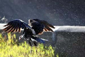 Turkey Vulture copyright (c) Sept 2010, Kathy J Loh