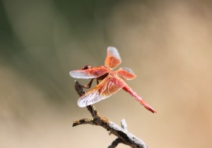 Red Skimmer copyright (c) Sept 2010 Kathy J Loh