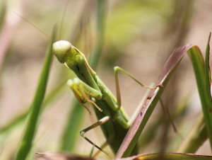 Praying Mantis copyright (c) Sep 2010 Kathy J Loh