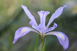 Iris - copyright(c) May 2010, K Loh, All Rights Reserved