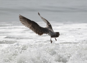 gull taking off -- copyright(c) Kathy J Loh, All rights reserved