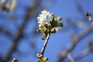IMG_5975 apple blossom copyright (c) March 2013 Kathy J Loh