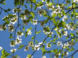 photo of dogwood copyright (c) KJLoh